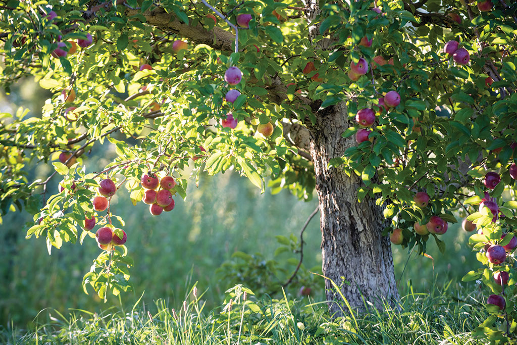 Apples_06.jpg