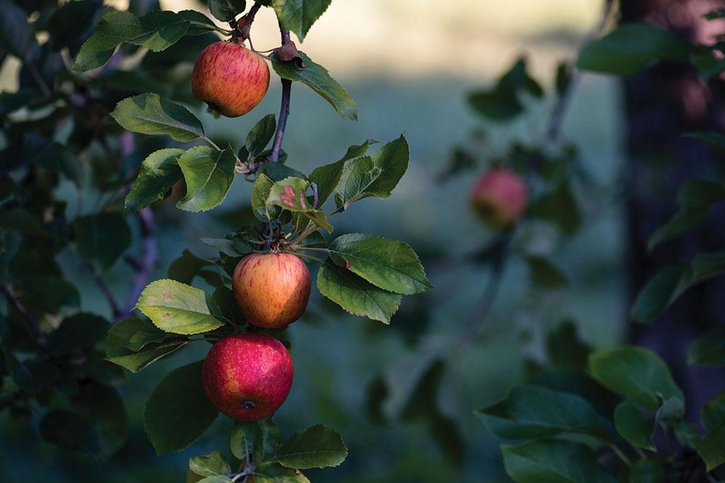 Apples_07.jpg