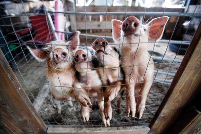 Cummington Fair pigs